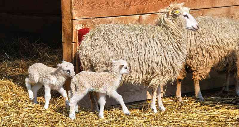 Schafe und Ziegen gibt es in Hirschstetten genauso wie ...