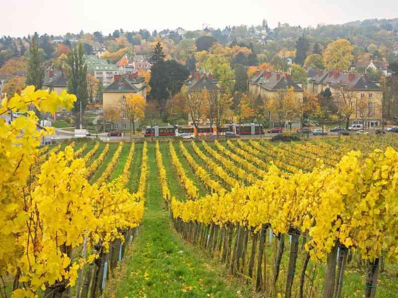 Spaziert man vom Wilhelminenberg Richtung Neuwaldegg, kommt man auch an Heurigen und Weinbergen vorbei.