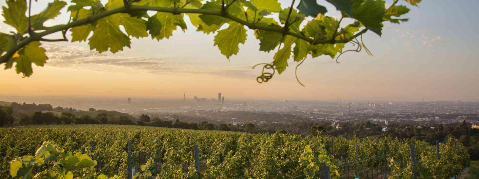 Blick auf Wien und Weinreben